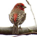 House Finch (male pictured)