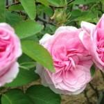 CI Roses